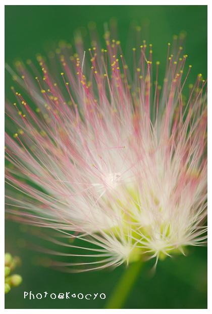 03_ネムノキの花.jpg